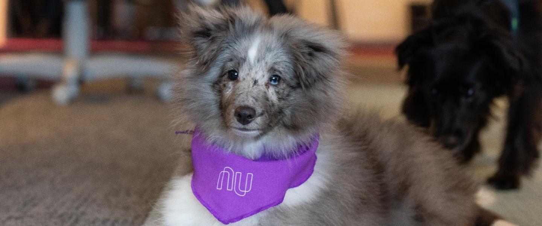 Un perrito con un pañuelo de Nu al cuello, recostado sobre la alfombra de una oficina.